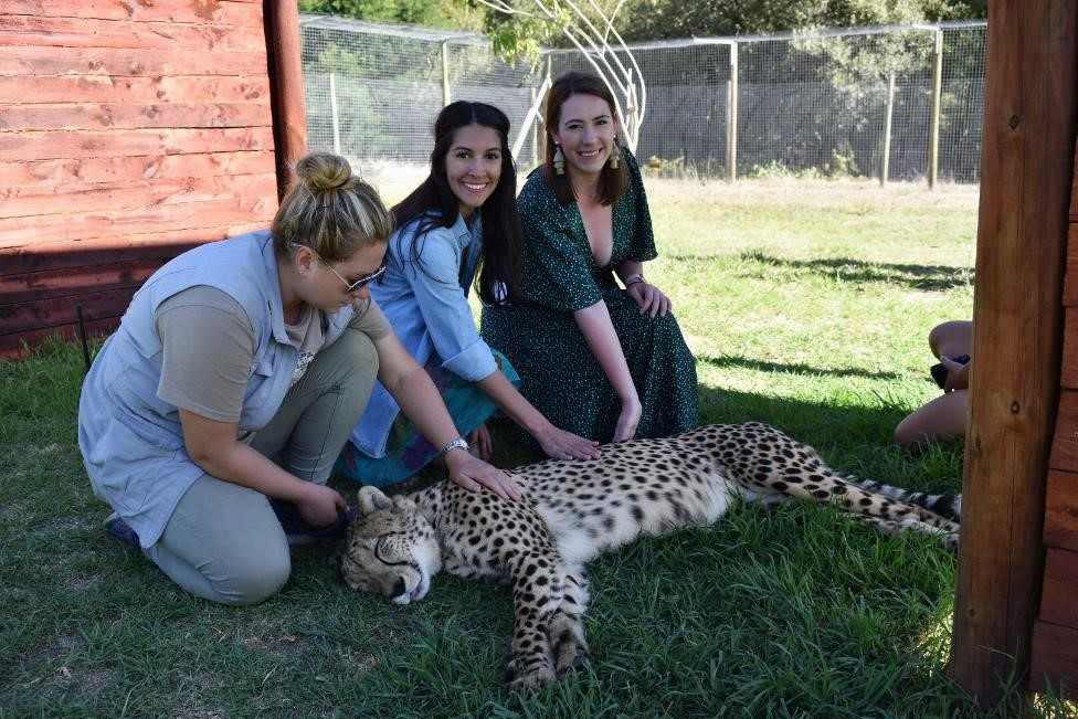 MBA students pet a cheetah while on their game drive excursion.